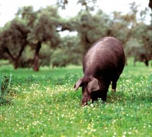 jabugomaximiliano 300x270 Beneficios del jamón ibérico para la salud